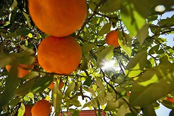 Orange Grove Valencia Spain